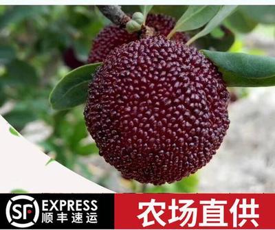 福建省漳州市龙海市东魁杨梅 1.5 - 2cm