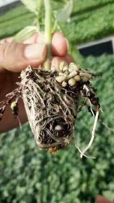 海南省海口市龙华区丰根高效高产根系促生长剂