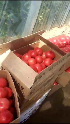 河北省保定市清苑县硬粉番茄 不打冷 硬粉 弧二以上