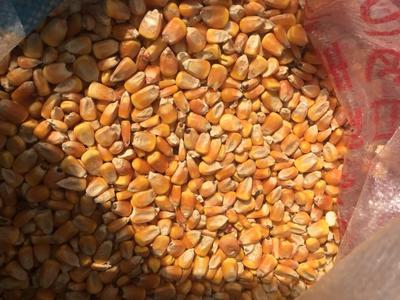 黑龙江省大庆市大同区玉米干粮 霉变≤2% 净货