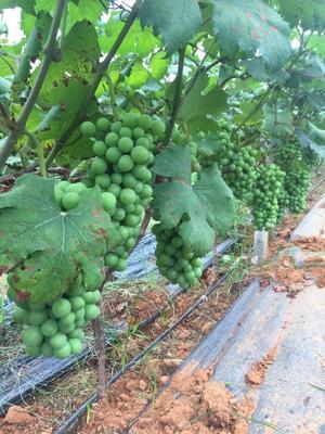 湖南省永州市道县夏黑葡萄 5%以下 1次果 1.5- 2斤