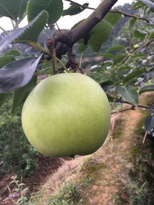 四川省眉山市东坡区早酥梨 200-250g 65mm以上
