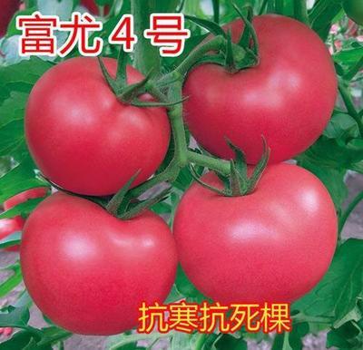 山东省潍坊市寿光市富尤4号番茄种子抗寒抗死棵 98% 杂交一级