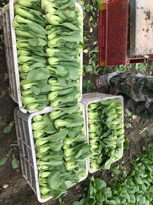 上海青浦区金品28青梗菜 1两以下