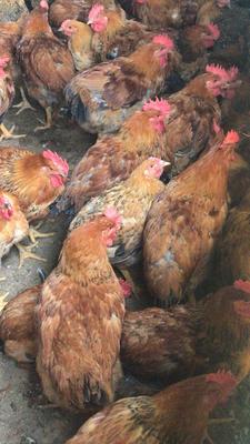 这是一张关于肉杂鸡 公 6-7斤的产品图片