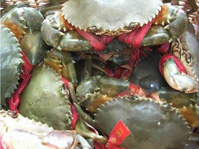 江苏省连云港市赣榆区青蟹 2.0-2.5两 母蟹