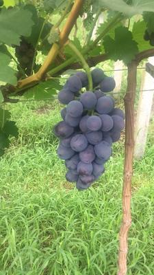江苏省徐州市新沂市夏黑葡萄 5%以下 1次果 1-1.5斤