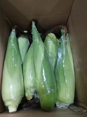云南省昆明市盘龙区糯玉米 白粒 鲜货