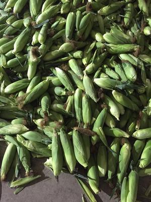广西壮族自治区南宁市横县甜玉米 黄粒 鲜货