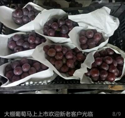 河北省邢台市柏乡县乒乓球葡萄 5%以下 1次果 1.5- 2斤