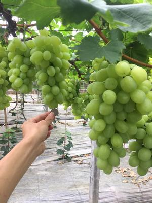 浙江省台州市温岭市维多利亚葡萄 5%以下 1次果 1-1.5斤