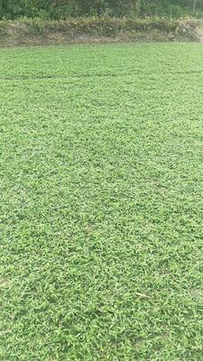 广东省广州市增城区大叶油草