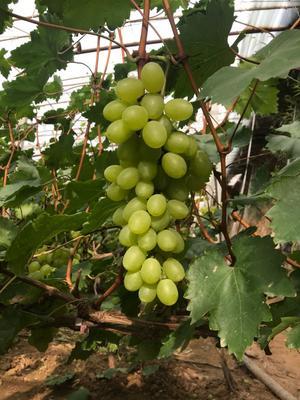河北省衡水市冀州市维多利亚葡萄 5%以下 1次果 1-1.5斤
