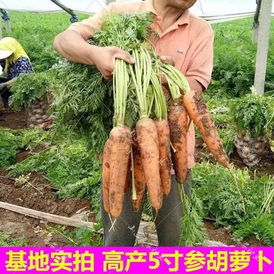 山东省青岛市崂山区三红胡萝卜 10~15cm 3两以上 5cm以上
