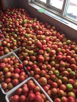 山东省德州市陵城区硬粉番茄 不打冷 硬粉 弧二以上