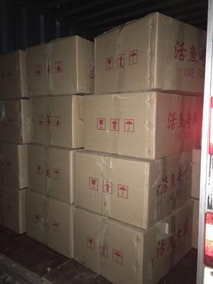 这是一张关于台湾泥鳅苗的产品图片