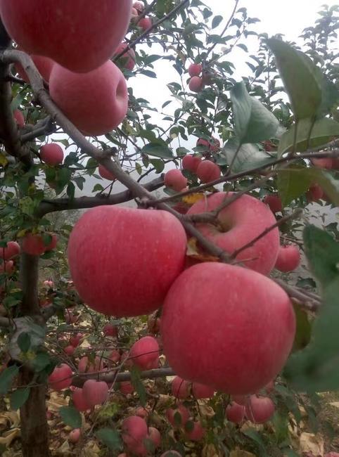 浆水苹果 膜袋 全红 70mm以上