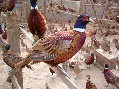 广东省湛江市雷州市七彩山鸡 2-3斤