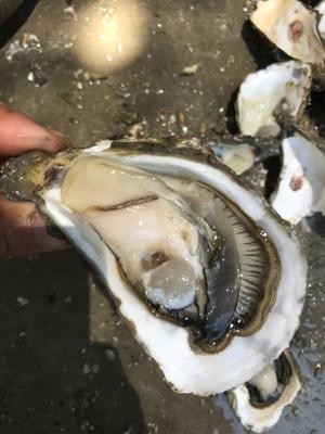 这是一张关于诏安湾生蚝 人工殖养 10-15只/公斤的产品图片