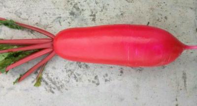 安徽省宿州市萧县红皮萝卜 1~1.5斤