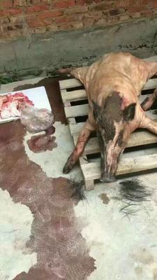浙江省嘉兴市嘉善县特种野猪 60斤以上 统货
