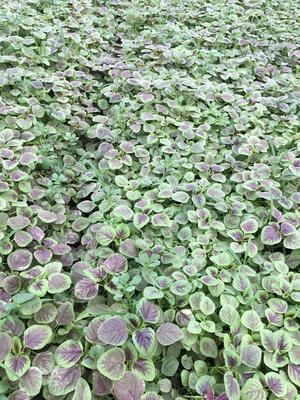 江苏省苏州市太仓市红苋菜 15-20cm 紫红