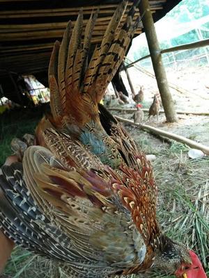 广西壮族自治区北海市合浦县七彩山鸡 2-3斤