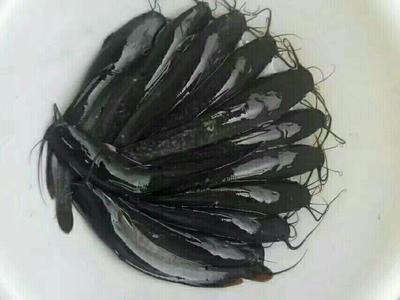 四川省眉山市东坡区八胡鲶鱼 人工养殖 0.5公斤以下