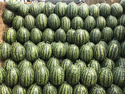 河北省保定市清苑县甜王西瓜 有籽 1茬 8成熟 10斤打底