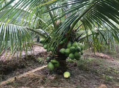 海南省儋州市儋州市椰子苗