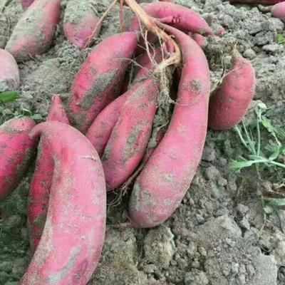 这是一张关于红心红薯 红皮 4两以上的产品图片
