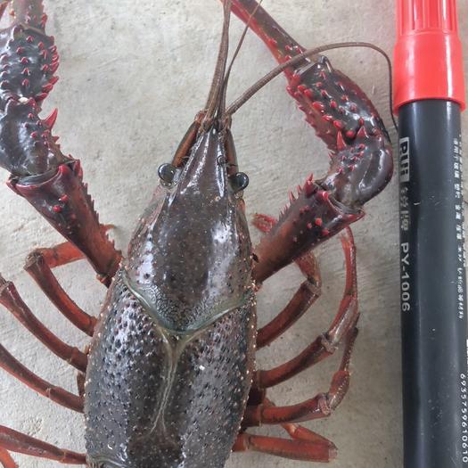 潜江小龙虾 6.4以上不封顶规格的大青,7以上不封顶的大红。餐馆酒店的。