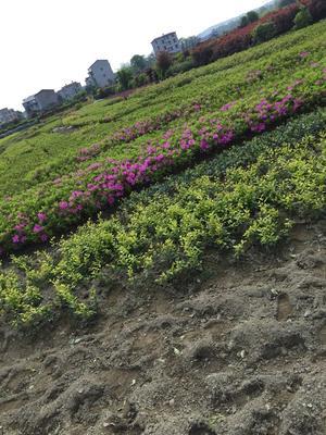 湖南省郴州市苏仙区春鹃 0.5米以下