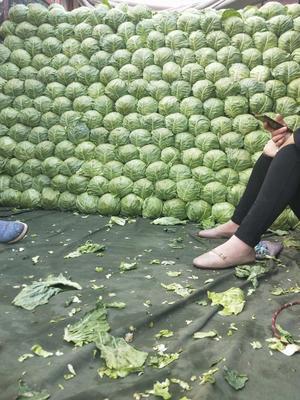 河北省邯郸市永年县绿甘蓝 2.0~2.5斤