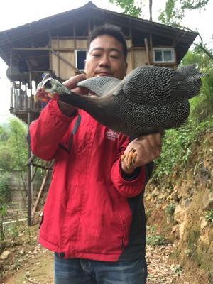福建省宁德市福安市白色珍珠鸡 2-4斤