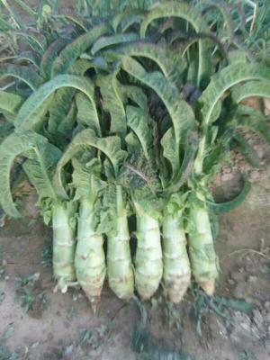 甘肃省兰州市榆中县红叶莴笋 50-60cm 1.0~1.5斤