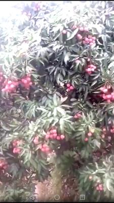 江西省宜春市高安市六月红荔枝 2cm