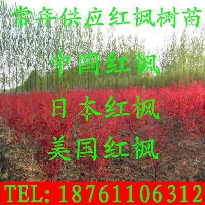 江苏省宿迁市沭阳县中国红枫/红叶羽毛枫