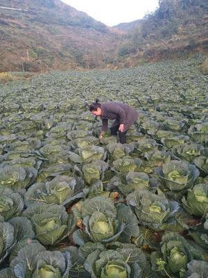 四川省雅安市汉源县莲花白包菜 4~5斤