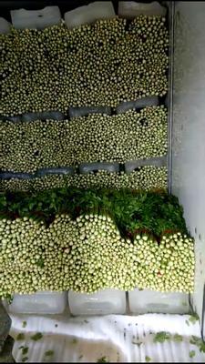 山东省济南市历下区西芹 40~45cm 大棚种植 0.5斤以下