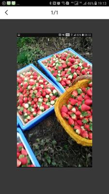 云南省曲靖市会泽县蒙特瑞草莓 30克以上