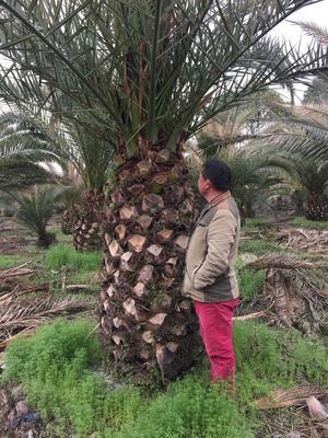四川省成都市新都区壮杆少毛长柄老人葵