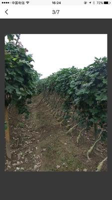 广东省江门市蓬江区人工种植葛根 4.0-4.5斤