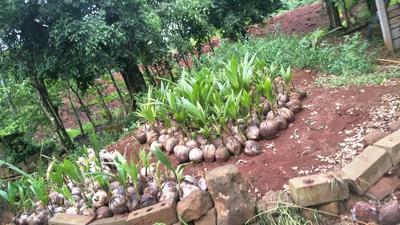 海南省海口市美兰区椰子苗