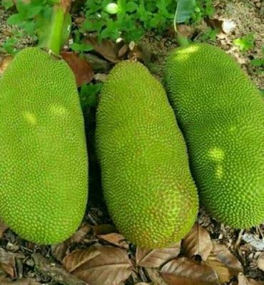 海南省三亚市海棠区海南菠萝蜜 15斤以上