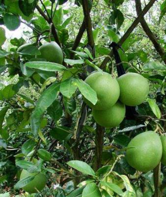 广西壮族自治区钦州市灵山县青皮红肉泰国蜜柚苗