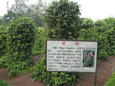 海南省海口市秀英区白胡椒