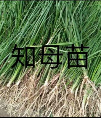 安徽省亳州市谯城区知母