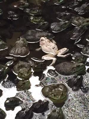 福建省泉州市南安市牛蛙