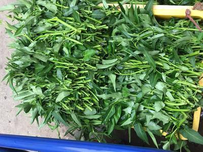 广西壮族自治区贺州市钟山县吉安蕹菜 15 ~ 20cm